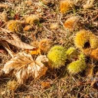 Herbst -Kastanien im Park